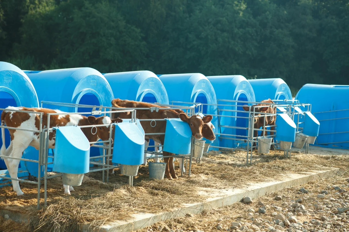 Почему фермерское молоко пахнет коровой