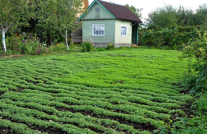 Чтобы не тратиться на удобрения, по осени засеиваю огород полезными культурами (сидератами). Делюсь какие лучше выбрать