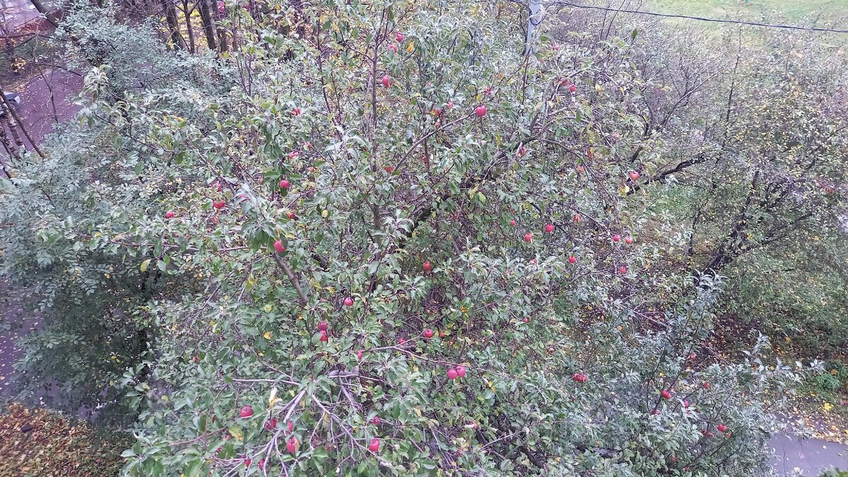 А ещё под окном вот такая яблоня растёт, красные яблоки дразнят нас уже месяц:)